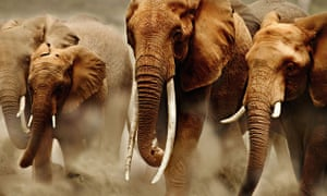 Savanna elephants in Kenya. Savanna elephants are much larger than their forest cousins.