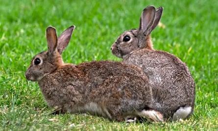 Two European Wild Rabbits Oryctolagus cuniculus