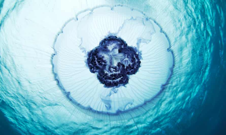 A moon jellyfish swims through the white sea off the coast of Russia.