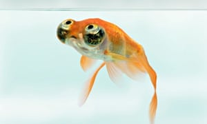 goldfish common carp