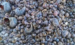 Snail invasion in Spain