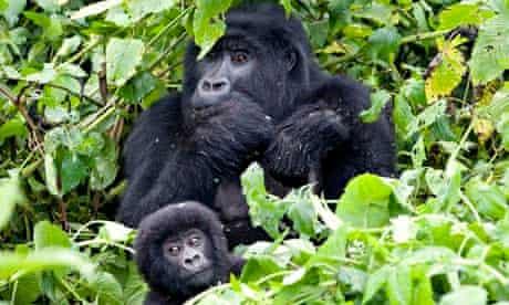 Verunga Mountain gorillas
