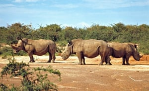 Rhinos in Murchison Falls, Uganda