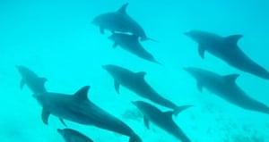 Bottlenose dolphin swimming off Zanzibar.