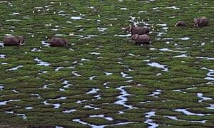 Elephants graze in a marsh at Amboseli national park, Kenya.