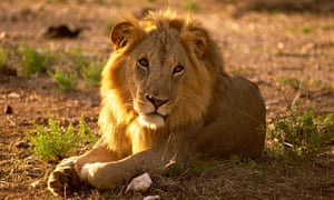 Male lion ain Samburu National Reserve, Kenya