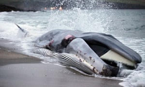 A beached whale at Carlyon Bay, Cornwall