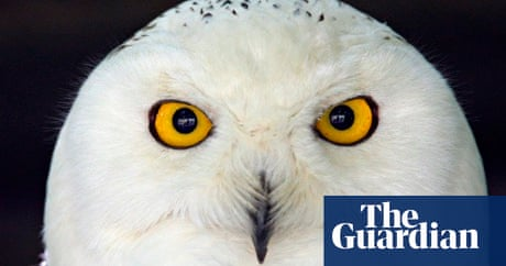 Lemmings Fuel Biggest Snowy Owl Migration In 50 Years Environment