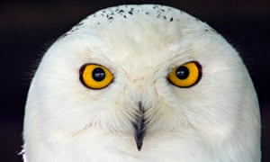 Snowy Owl is seen at Olemse zoo in Olmen