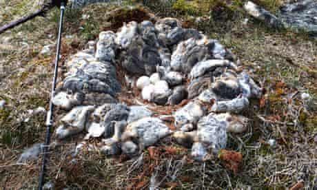 Lemmings snowy owl