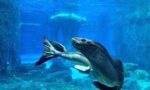 Casey leopard seal Taronga