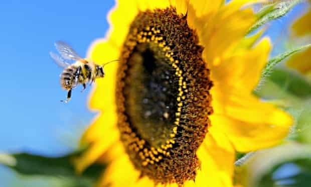 A bumblebee hovers beside a sunflower