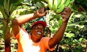 Banana picking Fairtrade