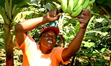 Banana picking Fairtrade