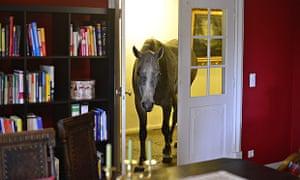 Nasar the horse living inside a house