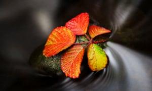 Autumnal bramble, Otley