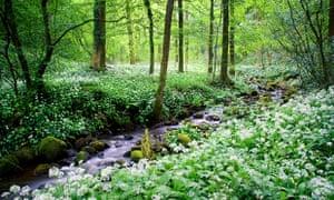 Garlic Forest, Bolton Abbey