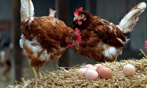 Walking on eggshells: a genetic experiment showed that hens are more productive when less competitiv