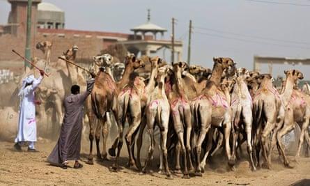 Cities: pandemic 4, camel
