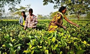 picking tea in Assam