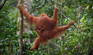 An endangered Sumatran orangutan with a baby holding onto her clings on tree branches in the forest of North Sumatra and Aceh.