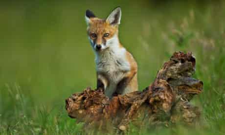 Fox Cub playing