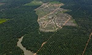 An oil palm plantation inside the PT Karya Makmur Abadi Estate II palm oil concession. PT KMA II contains important areas of mapped orangutan habitat and is a subsidiary of the Malaysian Kuala Lumpar Kepong Berhad (KLK) group.