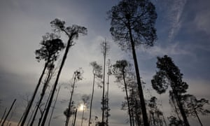 A few trees are all that remain of a once large area of orangutan habitat inside the PT Wana Catur Jaya Utama palm oil concession in Mantangai, Kapuas district, Central Kalimantan. PT WCJU is a subsidiary of BW Plantation.