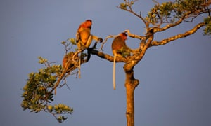Proboscis monkeys (Nasalis larvatus), also known as long-nosed monkeys, in Tanjung Puting National Park, Central Kalimantan. Proboscis monkeys are listed as Endangered on the IUCN Red List