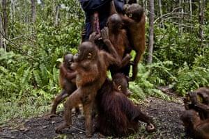 Baby orangutans at the Orangutan Foundation International Care Center in Pangkalan Bun, Central Kalimantan. Expansion of oil palm plantations is destroying their forest habitat.