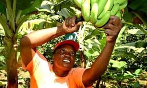 Fairrtrade worker cutting banans