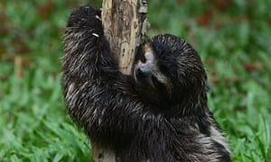 (FILE) A baby brown-throated sloth (Brad