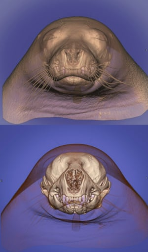 """Computed tomography (CT) of the head of a seal (Pinnipedia). The image was rendered with a 3D volume rendering technique in which the skeleton has been made opaque and the soft tissues (fat tissue) semi-translucent to reveal the skull of the animal. Conventional CT uses a single x-ray source to scan the animal in a series of virtual """"slices""""."""