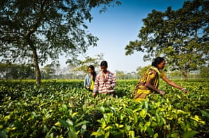 India tea slave trade: Tea workers in Assam