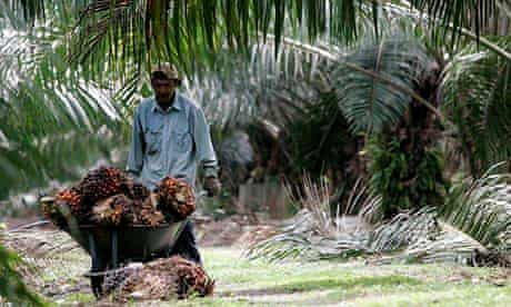 Worker pushes wheelbarrow of palm oil fruits