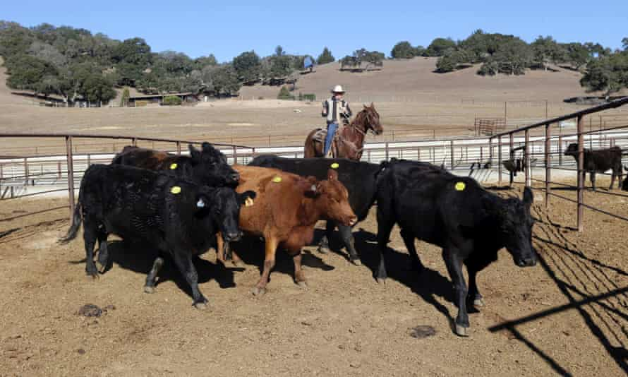 Jim Warren, owner of the 101 Livestock Market gathers cattle for an auction in Aromas, Calif. California's worsening drought is forcing many ranchers to sell their cattle and other livestock because their pastures are too dry to feed them
