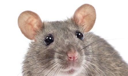 Big rat nightmare.