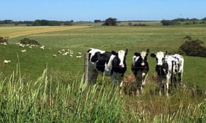Cows are seen on a farm near the town of Timboon, southwest of Melbourne.