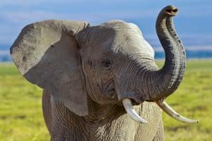 An elephant walks in the Amboseli National Park in southern Kenya.