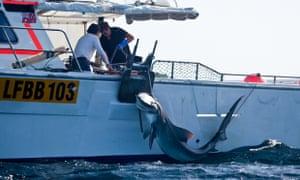 WA shark cull, tiger shark