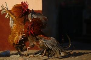 Roosters go head to head in a fight in a street in Kathmandu, Nepal