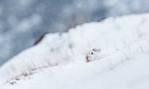 Hare raising: a hare pops up in the snow in the Scottish Highlands.
