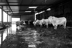Somerset floods: James Winslades' cows waiting to be evacuated