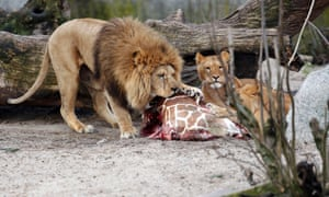 The carcass of Marius is eaten by lions after he was put down in Copenhagen Zoo.