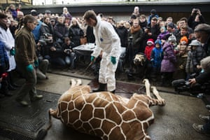 A giraffe named Marius gets an autopsy in front of visitors at Copenhagen zoo.