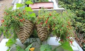 Cherry cascade tomatoes - a great crop for baskets