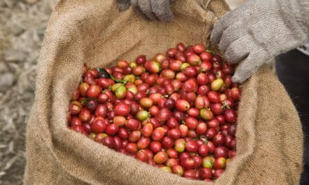 Gloved worker hands holding ripe harvested Kona Coffee Beans in Hawaii, USA.