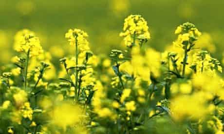 GM crops oilseed rape