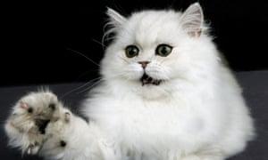 Pet or cold-eyed killing machine? A chinchilla Persian cat.