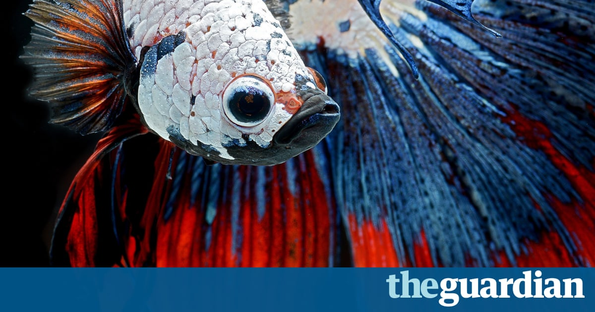 Siamese fighting fish art and design the guardian for Siamese 9 electric motor